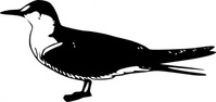 bird,animal,standing,media,clip art,public domain,image,png,svg,fws,fws lineart,nature,line art,sooty,tern,sooty tern,onychoprion fuscata,onychoprion,fuscata,waterbird,gull,seagull