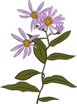 aster,conspicuus,nature,plant,flower,wild,outline