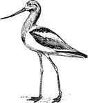 avocet,lineart,bird,animal,nature,hand,drawn,outline,biology,zoology,ornitology,line art,black and white,contour,media,clip art,externalsource,public domain,image,png,svg,wikimedia common,psf,wikimedia common,animal,animal,wikimedia common,wikimedia common