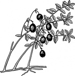cranberry,nature,plant,food,fruit,berry,biology,botany,line art,black and white,contour,outline,media,clip art,externalsource,public domain,image,png,svg,wikimedia common,psf,wikimedia common,wikimedia common,wikimedia common