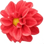 dahlia,rose,media,clip art,public domain,image,png,svg,flower,plant,nature,pink,red,photo