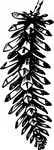 open,pine,cone,nature,plant,conifer,spruce,biology,botany,line art,black and white,contour,outline,media,clip art,externalsource,public domain,image,png,svg,wikimedia common,psf,wikimedia common,wikimedia common,wikimedia common