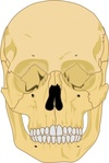 human,skull,media,clip art,externalsource,public domain,image,svg,face,skeleton,front,head,bone