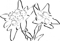 edelweiss,plant,line art,nature,flower,calligraphic,media,clip art,public domain,image,svg