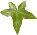 leaf,nature,plant,ivy,media,clip art,public domain,image,png,svg