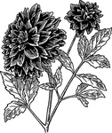 dahlia,nature,plant,flower,biology,botany,gardening,line art,black and white,contour,outline