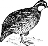 bird,animal,bobwhite,quail,biology,zoology,ornitology,line art,black and white,contour,outline,media,clip art,externalsource,public domain,image,png,svg,wikimedia common,psf,wikimedia common,wikimedia common,wikimedia common