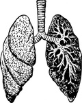 lung,anatomy,body,human