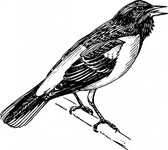singing,bird,animal,oriole,biology,zoology,ornitology,line art,black and white,contour,outline,media,clip art,externalsource,public domain,image,png,svg,wikimedia common,psf,wikimedia common,wikimedia common,wikimedia common