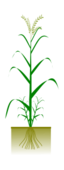 cereal,plant,grain,rice,paddy,food,botany,science,biology,svg,png,clipart