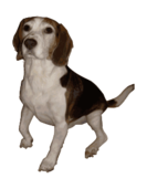 dog,perro,cute,medium,small,puppy,pup,pet,animal,mammal,canine,beagle,pure,bred,breed,hunting,hunt,royalty,pd self