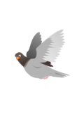 pigeon,squab,flying,bird,flight,animal,bird
