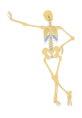 human,skeleton,skull,bone,anatomy,outline,media,clip art,how i did it,public domain,image,png,svg,bone,bone